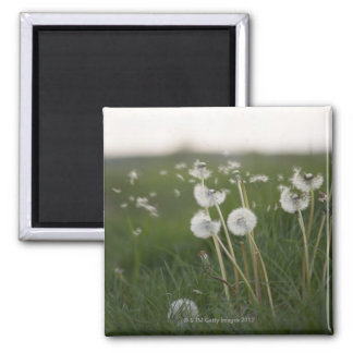 Dandelions blowing in the wind. square magnet