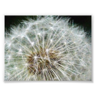 dandilion photo print