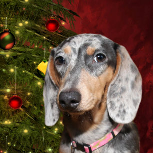 dappled dachshund christmas christmas ornament