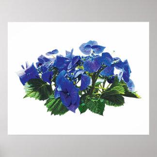 Dark Blue Hydrangea Lace Cap Poster