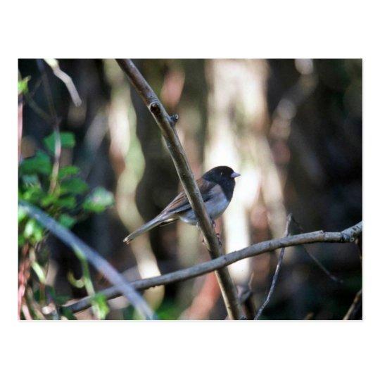 Dark-eyed junco on branch postcard