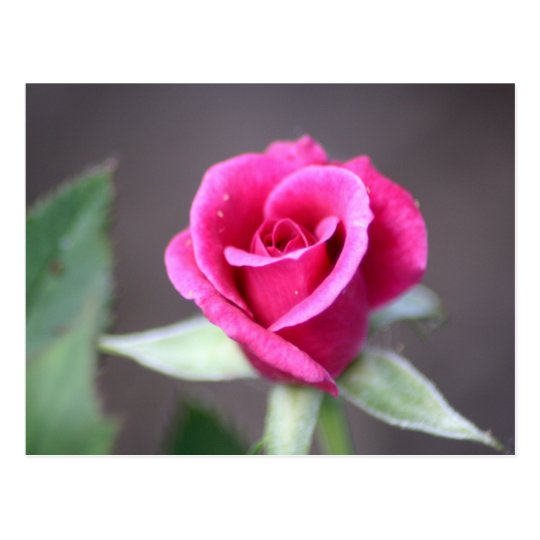 dark pink mini rose postcard