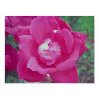Dark Pink Rose Photo Poster