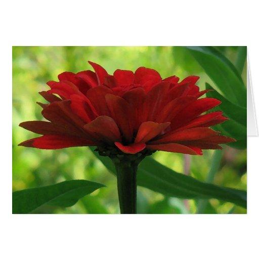 Dark Red Zinnia Greeting Card