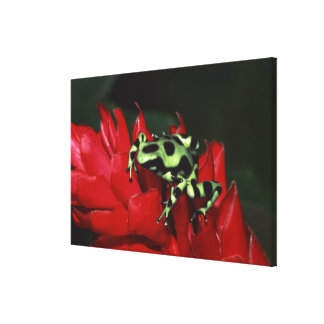 Dart frog 2 canvas print