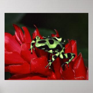 Dart frog 2 poster