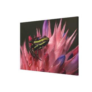 Dart frog canvas print