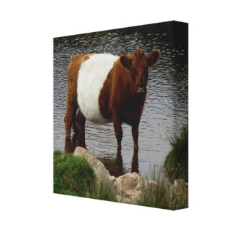 Dartmoor Belted Galloway Cow Standing In River Canvas Print