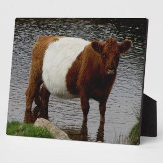 Dartmoor Belted Galloway Cow Standing In River Plaque