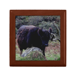Dartmoor Black Galloway Scratching Ear On Tree Gift Box