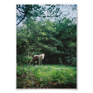 Dartmoor ponies photograph
