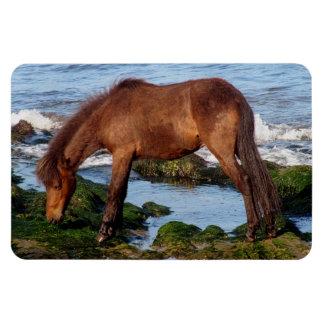 Dartmoor Pony Eating Seaweed In Remote South Devon Magnet