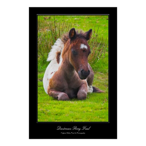 Dartmoor Pony Foal gallery-style poster print