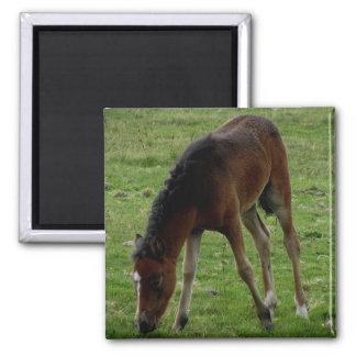 Dartmoor Pony Foal Grazeing On The Moor Refrigerator Magnet