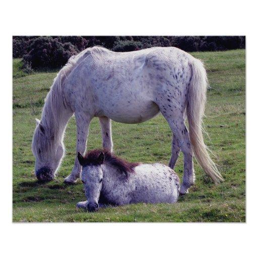 Dartmoor Pony Grey Mare Grazeing Foal Grazeing Photo Art