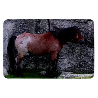 Dartmoor Pony Sheltering Bone Hill Rocks .2. Magnet