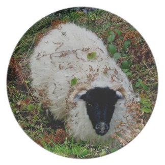 Dartmoor Sheep In Hideing Plate