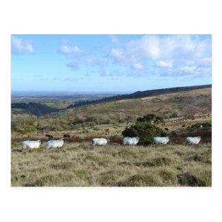Dartmoor Sheep Postcard