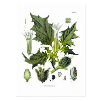 Datura stramonium postcards