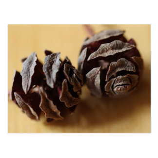 Dawn Redwood Cones Post Cards