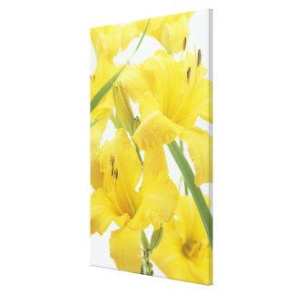 Daylily flowers and flower buds (Hemerocallis) Canvas Print
