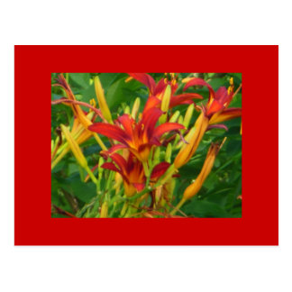 Dazzle in Orange Daylilies Postcards