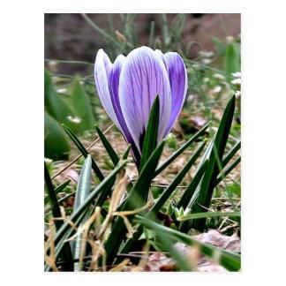 Dazzling Purple Crocus Flowers Postcard