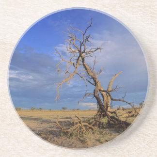 Dead Camel Thorn (Acacia Erioloba) Tree Coaster