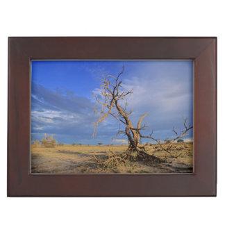 Dead Camel Thorn (Acacia Erioloba) Tree Keepsake Box