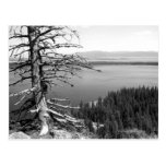 Dead tree, Jenny Lake, Grand Teton, Wyoming Post Cards