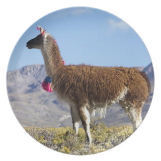 Decorated lama herd in the Puna, Andes mountains 2 Party Plates