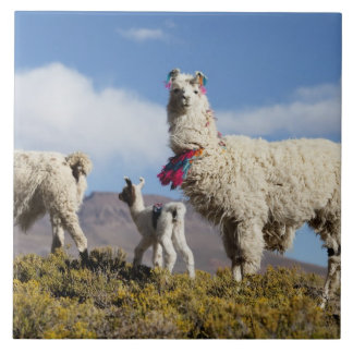 Decorated lama herd in the Puna, Andes mountains 3 Tile