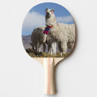 Decorated lama herd in the Puna, Andes mountains Ping Pong Paddle