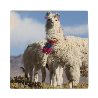 Decorated lama herd in the Puna, Andes mountains Wood Coaster
