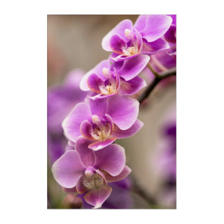 Deep Pink Phalaenopsis Orchid Flower Chain Acrylic Wall Art