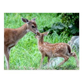 Deer Kissing Fawn Postcard