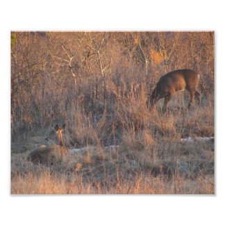 Deer Resting At Sunset - Photo Print