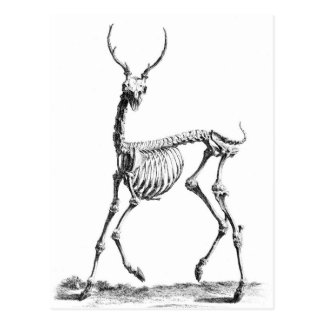 Deer Skeleton postcard