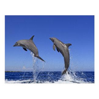 Delfin,Delphin,Grosser Tuemmler,Tursiops 3 Postcard