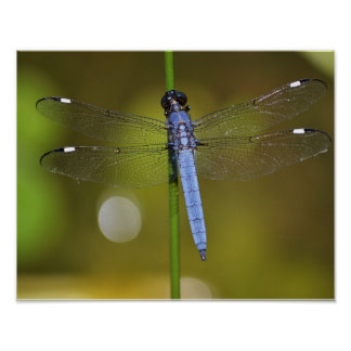 Delicate dragonfly, a feast for the eyes posters