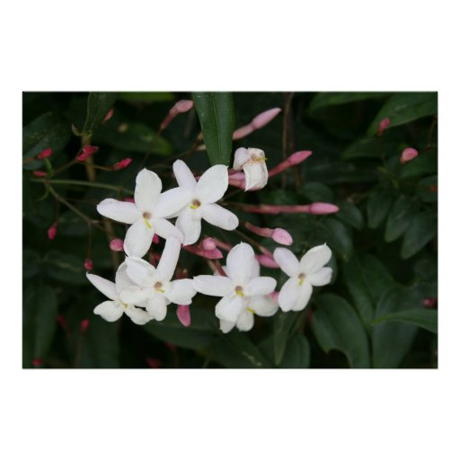 Delicate White Jasmine Blossom with Green Backgrou Print