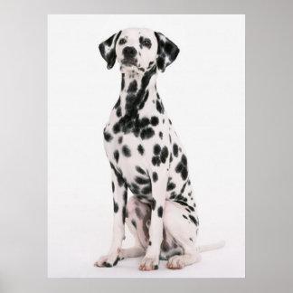 Delightful Dalmatian Poster