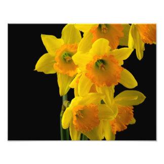 Delightful Yellow and Orange Daffodils Photo Print