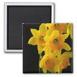 Delightful Yellow and Orange Daffodils Square Magnet