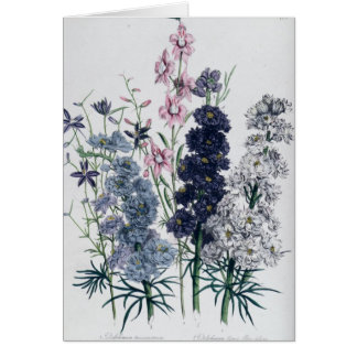 Delphiniums, from 'The Ladies' Flower Garden' Card