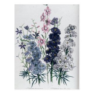 Delphiniums, from 'The Ladies' Flower Garden' Postcard