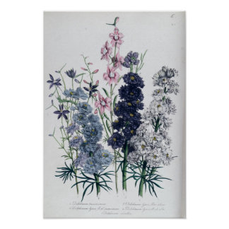 Delphiniums, from 'The Ladies' Flower Garden' Poster