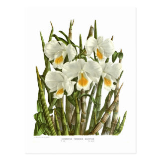 Dendrobium formosum giganteum postcard