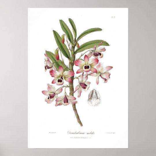 Dendrobium nobile poster