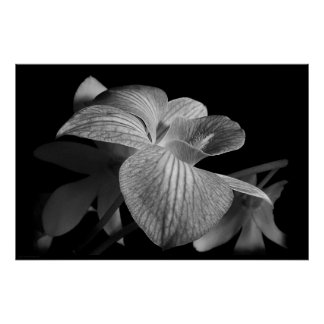 Dendrobium Orchid 1 Poster Print